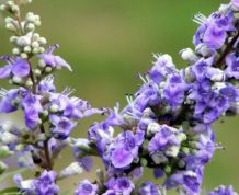 Vitex and PCOS